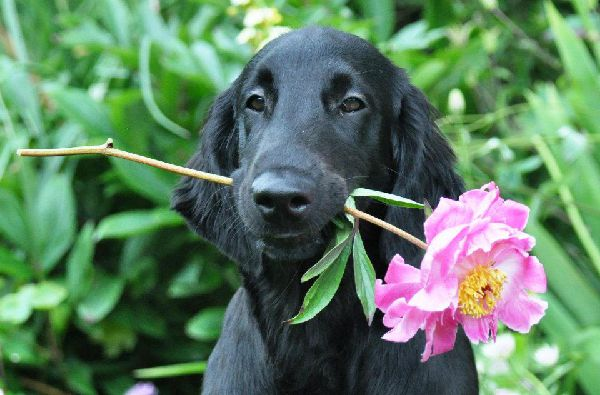 Covellyn S Flatcoated Retriever